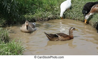 Ducks and geese swim and dive in th