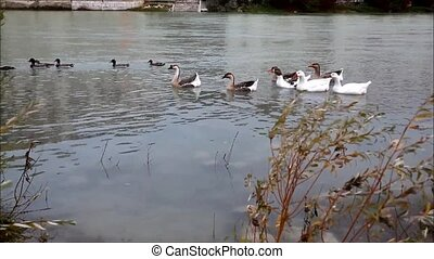 Ducks and geese swimming on river