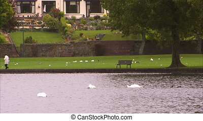 Ducks and swan in a park in Ireland - A steady wide shot of...