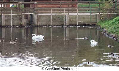 Ducks and swans in the pond - In the city pond swans and...