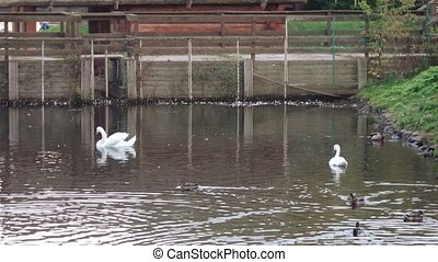 Ducks and swans in the pond