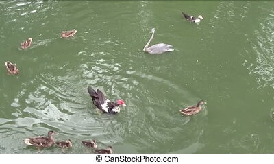 Ducks swimming gracefully in pond