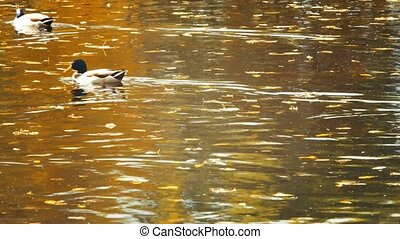Ducks at pond with reflections on water and autumnal leaves floating