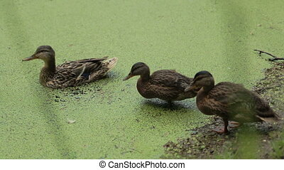 Ducks contaminated River ecology damage