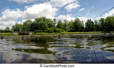 Ducks eat bread in water, shooting from water surface level,
