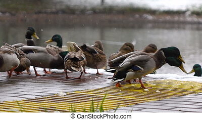 ducks eat bread on the lake
