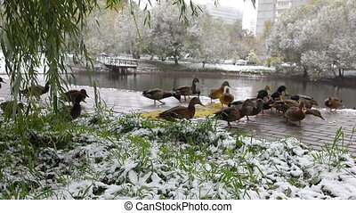 ducks eat bread on the lsnow covered grass