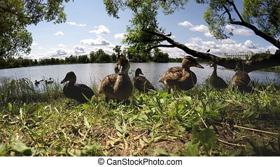 Ducks eat , shooting from water surface level - Ducks eat...