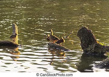 Ducks family sitting on a wooden log. Warm summer evening