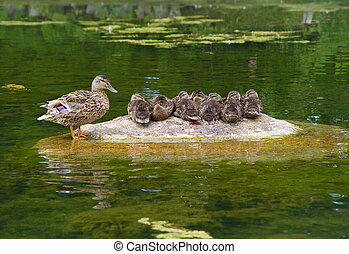 Ducks family - Wild duck with duckling at stone