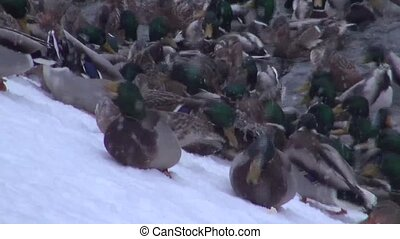 Ducks feed on the snow-covered shore in ice-free pond