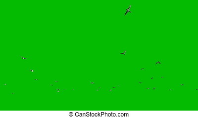 Ducks flying against Green Screen, 4K