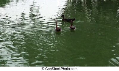 Ducks flying away out of a pond in