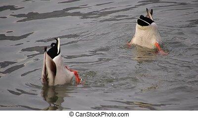ducks food fishing in the lake