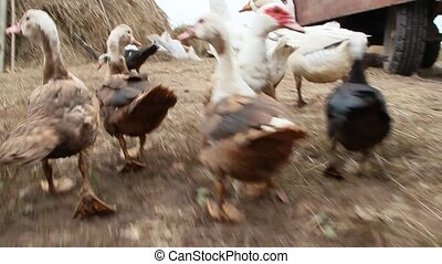 Ducks geese and muscovy ducks eat pumpkin in poultry....