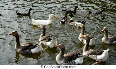 Ducks geese and swans swimming on water, lake.