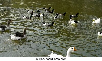 Ducks geese and swans swimming