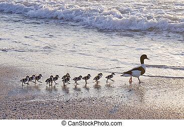 duck's, gezin