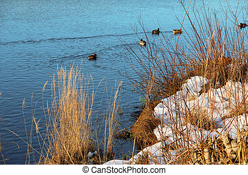 Ducks in a lake in early spring