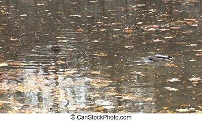 Ducks in autumn park