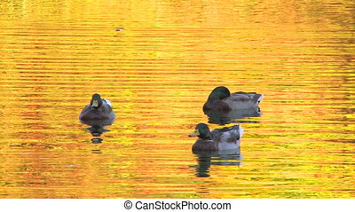 Ducks in gold rippled water