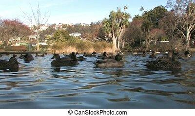 Ducks in Park lake 2