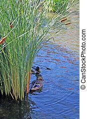 Ducks in reeds 1