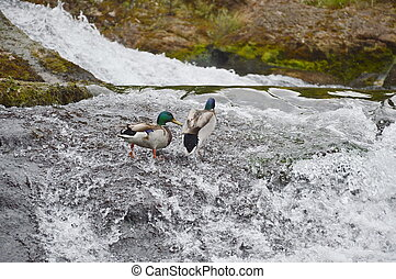 ducks in Rhine fall