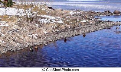 Ducks in spring season on water