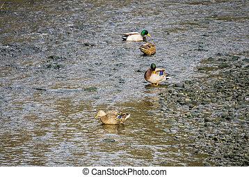 Ducks In Stream 2