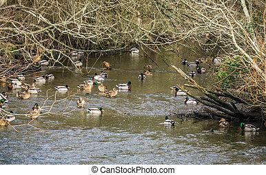 Ducks In Stream