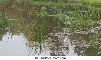 Ducks in the pond with with reeds.