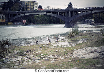 Bassano del Grappa, Veneto, Italy - Ducks in the river of ...