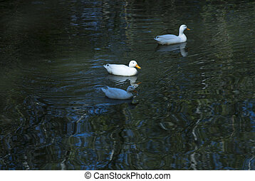 Ducks in the water of a river