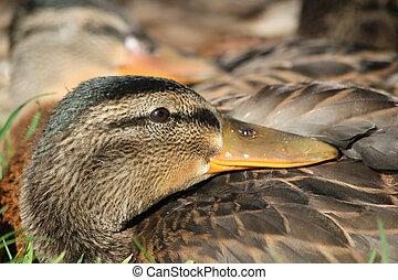 Ducks mallard sleeping