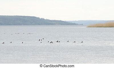 ducks of different species swim on a big river, wildlife