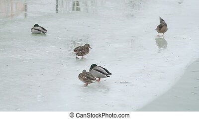 Ducks and pigeons on a frozen city pond