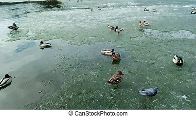 ducks on a pond, go in pairs on melting ice in the spring