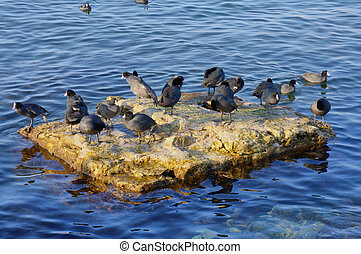 Ducks on a stone