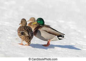 ducks on a sunny day