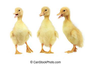 ducks on a white background