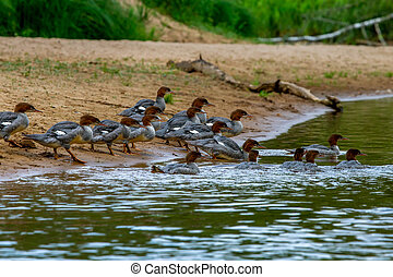 Ducks on bank of the river in Latvia - Ducks swimming in the...