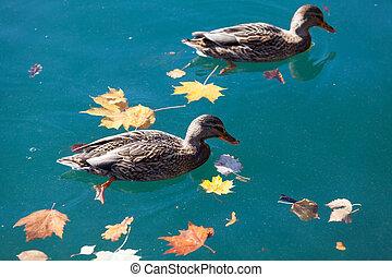 Ducks on lake Bled