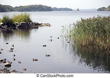 ducks on ross castle lake