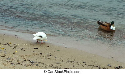 Ducks on the beach eating polenta