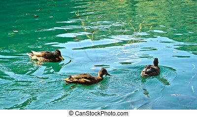 Ducks on the Plitvice Lakes in Croatia.