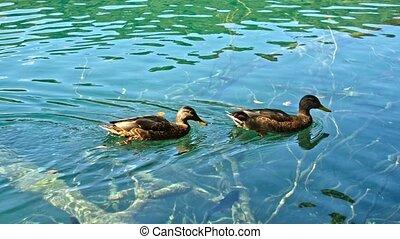 Ducks on the Plitvice Lakes in Croatia. 4k