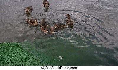 Ducks on the pond, ducks swimming in the water. Ducks eat bread, swim, chase food.