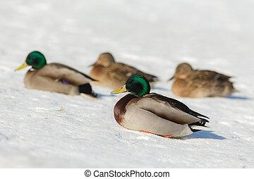 ducks on the snow