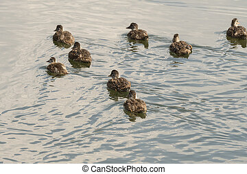 ducks on the water of yellowstone lake in Yellowstone National Park